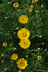 Kelwayi Marguerite Daisy (Anthemis tinctoria 'Kelwayi') at New Garden Landscaping & Nursery