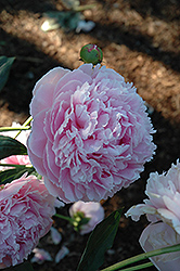 Shirley Temple Peony (Paeonia 'Shirley Temple') at New Garden Landscaping & Nursery