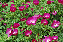 Buffalo Poppy (Callirhoe involucrata) at New Garden Landscaping & Nursery