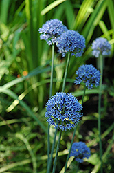 Blue Drumstick Ornamental Onion (Allium caeruleum 'Blue Drumstick') at New Garden Landscaping & Nursery