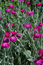 Rose Campion (Lychnis coronaria) at New Garden Landscaping & Nursery