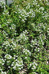 White Moss Thyme (Thymus praecox 'Albus') at New Garden Landscaping & Nursery