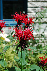 Jacob Cline Beebalm (Monarda 'Jacob Cline') at New Garden Landscaping & Nursery