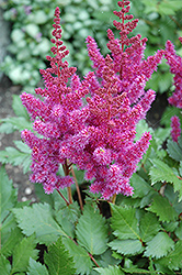 Visions Astilbe (Astilbe chinensis 'Visions') at New Garden Landscaping & Nursery