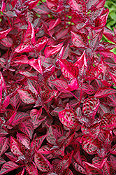 Blood Leaf (Iresine herbstii) at New Garden Landscaping & Nursery