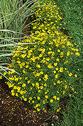 Zagreb Tickseed (Coreopsis verticillata 'Zagreb') at New Garden Landscaping & Nursery