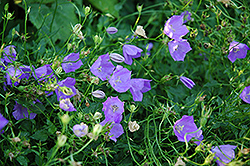 Carpathain Bellflower (Campanula carpatica) at New Garden Landscaping & Nursery