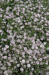 Pink Fairy Baby's Breath (Gypsophila paniculata 'Pink Fairy') at New Garden Landscaping & Nursery