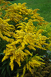 Crown Of Rays Goldenrod (Solidago 'Crown Of Rays') at New Garden Landscaping & Nursery