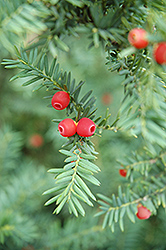 Japanese Yew (Taxus cuspidata) at New Garden Landscaping & Nursery
