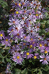 Bluebird Aster (Aster laevis 'Bluebird') at New Garden Landscaping & Nursery
