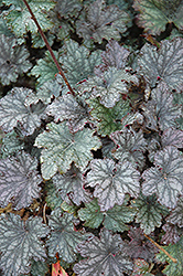Frosted Violet Coral Bells (Heuchera 'Frosted Violet') at New Garden Landscaping & Nursery