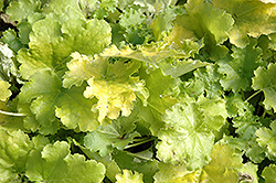 Lime Rickey Coral Bells (Heuchera 'Lime Rickey') at New Garden Landscaping & Nursery