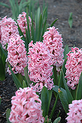 Anna Marie Hyacinth (Hyacinthus orientalis 'Anna Marie') at New Garden Landscaping & Nursery