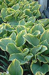Sagae Hosta (Hosta 'Sagae') at New Garden Landscaping & Nursery