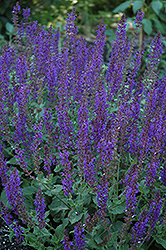 May Night Sage (Salvia x sylvestris 'May Night') at New Garden Landscaping & Nursery
