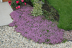 Red Creeping Thyme (Thymus praecox 'Coccineus') at New Garden Landscaping & Nursery