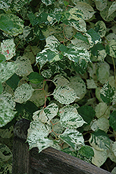 Variegated Japanese Fleeceflower (Fallopia japonica 'Variegata') at New Garden Landscaping & Nursery