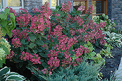 Pink Diamond Hydrangea (Hydrangea paniculata 'Pink Diamond') at New Garden Landscaping & Nursery