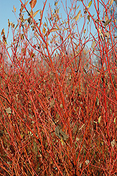 Cardinal Dogwood (Cornus sericea 'Cardinal') at New Garden Landscaping & Nursery