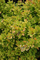 Sunsation Japanese Barberry (Berberis thunbergii 'Sunsation') at New Garden Landscaping & Nursery