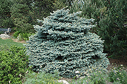 Montgomery Blue Spruce (Picea pungens 'Montgomery') at New Garden Landscaping & Nursery