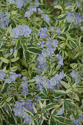 Stairway To Heaven Jacob's Ladder (Polemonium 'Stairway To Heaven') at New Garden Landscaping & Nursery