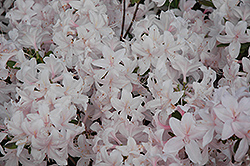 White Lights Azalea (Rhododendron 'White Lights') at New Garden Landscaping & Nursery