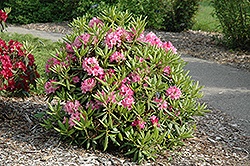 Haaga Rhododendron (Rhododendron 'Haaga') at New Garden Landscaping & Nursery