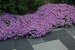 Fort Hill Moss Phlox (Phlox subulata 'Fort Hill') at New Garden Landscaping & Nursery