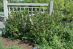 Common Sweetshrub (Calycanthus floridus) at New Garden Landscaping & Nursery
