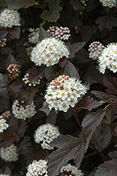 Diablo Ninebark (Physocarpus opulifolius 'Diablo') at New Garden Landscaping & Nursery