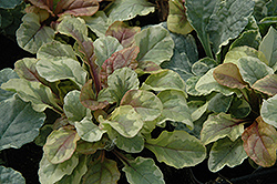 Golden Glow Bugleweed (Ajuga reptans 'Golden Glow') at New Garden Landscaping & Nursery