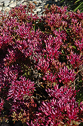 Dragon's Blood Stonecrop (Sedum spurium) at New Garden Landscaping & Nursery