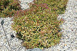 Flaming Mound Spirea (Spiraea japonica 'Flaming Mound') at New Garden Landscaping & Nursery