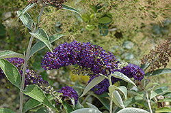 Adonis Blue™ Butterfly Bush (Buddleia davidii 'Adokeep') at New Garden Landscaping & Nursery