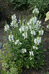 Miss Manners Obedient Plant (Physostegia virginiana 'Miss Manners') at New Garden Landscaping & Nursery