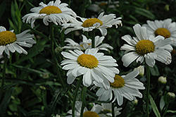 Polaris Shasta Daisy (Leucanthemum x superbum 'Polaris') at New Garden Landscaping & Nursery