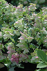 Kent Beauty Oregano (Origanum rotundifolium 'Kent Beauty') at New Garden Landscaping & Nursery
