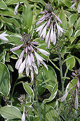 Francee Hosta (Hosta 'Francee') at New Garden Landscaping & Nursery