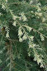 Summer Snow Hemlock (Tsuga canadensis 'Summer Snow') at New Garden Landscaping & Nursery