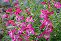 Red Rocks Beard Tongue (Penstemon x mexicali 'Red Rocks') at New Garden Landscaping & Nursery