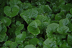 Canadian Wild Ginger (Asarum canadense) at New Garden Landscaping & Nursery