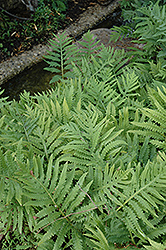 Sensitive Fern (Onoclea sensibilis) at New Garden Landscaping & Nursery
