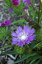 Honeysong Purple Aster (Stokesia laevis 'Honeysong Purple') at New Garden Landscaping & Nursery