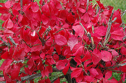 Compact Winged Burning Bush (Euonymus alatus 'Compactus') at New Garden Landscaping & Nursery