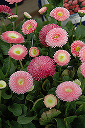 Tasso Pink English Daisy (Bellis perennis 'Tasso Pink') at New Garden Landscaping & Nursery