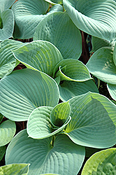 Bressingham Blue Hosta (Hosta 'Bressingham Blue') at New Garden Landscaping & Nursery