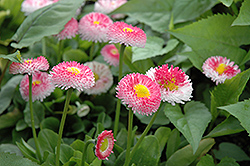Bellisima Rose English Daisy (Bellis perennis 'Bellissima Rose') at New Garden Landscaping & Nursery