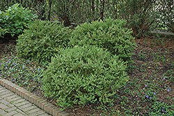 Wintergreen Boxwood (Buxus microphylla 'Wintergreen') at New Garden Landscaping & Nursery